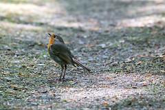 Where's Batman? - Robin looks up! (Benny aka WortLichtMaler) Tags: robin batman bird vögel vogel natur flink canon l 70 300 eos 6d birds birdwatching faune 7dwf