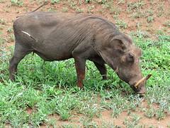 A Warthog with a problem. (Bruwer Burger.) Tags: warthog vlakvark coth5 ngc npc