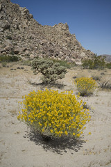 That's right... more desert photos... (susan catherine) Tags: joshuatreenationalpark wildflower explosion california