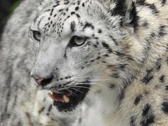 1833ex  Snow Leopard  ** Explore** (jjjj56cp) Tags: leopard snowleopard feline carnivore mammal spots spotted ciincinnati zoo cincinnatizoo cincinnati oh ohio cincinnatiohio fur teeth closeup p900 jennypansing details whiskers
