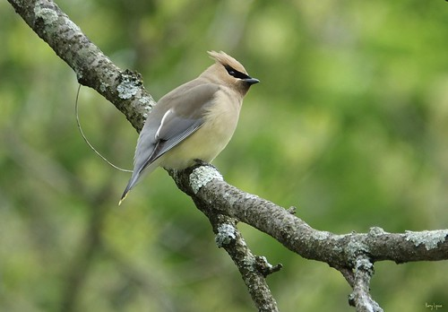 """Cedar Waxwing • <a style=""""font-size:0.8em;"""" href=""""http://www.flickr.com/photos/52364684@N03/33725968744/"""" target=""""_blank"""">View on Flickr</a>"""