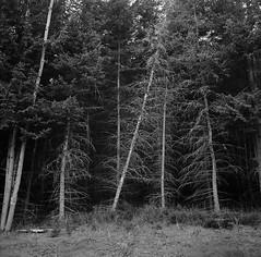 """Leaning Pine"" (babireley) Tags: minoltaautocord ilforddelta100 pottercounty pa pawilds pottercountypa trees pinetree thedarkroomlab"