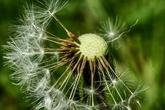 dandelion closeup (grahamd4) Tags: dandelion macro closeup tamron