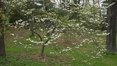 Cornus florida (Flowering Dogwood) (Plant Image Library) Tags: arnold arboretum trees plants ecology science botany phenology boston massachusetts may 2017 cornusflorida floweringdogwood cornaceae