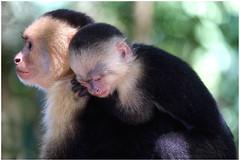 Sleeping On Mum's Back. (vegetus aer) Tags: costarica manuel antonio manuelantonio nationalpark monkey capuchinmonkey whitefacedmonkey baby sony rx10m3