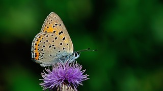 Lycaena candens