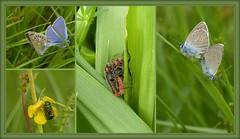 L'amour est dans le pré (a.laruelle) Tags: insectes accouplement montage
