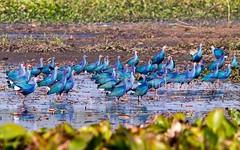 Baikka Marsh (Xpert Tours) Tags: srimangal canon sreemangal photo bunglow bird black bangladesh nature green baikka bil zeeshan hyder outdoor field landscape grass plant sky