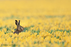 Fields of gold (hvhe1) Tags: nature wildlife wild tulip field yellow gold hare haas tulp tulpe lepuseuropaeus lièvre hase animal mammal fieldsofgold hvhe1 hennievanheerden specanimal