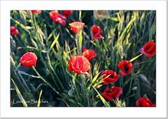 Amapolas y espigas (Lourdes S.C.) Tags: campo campodeamapolas espigas naturaleza amapolas
