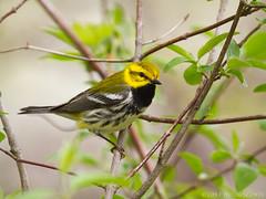 Black-throated Green Warbler (Doug Scobel) Tags: blackthroated green warbler setophaga virens magee marsh bird wildlife nature woodwarbler