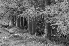 Footpath (Tony Tooth) Tags: nikon d7100 nikkor 50mm f18g bw blackandwhite monochrome footpath trees pinetrees cloughbrook wildboarclough cheshire