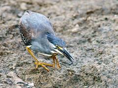 Striated Heron (Butorides striata) (David Cook Wildlife Photography) Tags: striatedheron butoridesstriata krugernationalpark mpumalanga southafrica davidcookwildlifephotography kookr sonya99mkii sonyilca99m2 sonysal300f28g2 sonysal14tc ©2017davidcookwildlifephotographyallrightsreserved