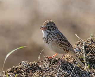 Bruant Vespéral  -  Vesper Sparrow
