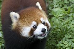 firefox (ucumari photography) Tags: ucumariphotography cincinnati zoo ohio april 2017 redpanda lesserpanda animal mammal dsc1959 ailurusfulgens specanimal