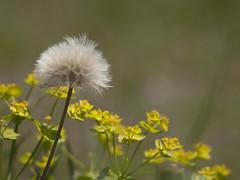 Tout doux -* (Titole) Tags: seeds euphorbe euphorbia shallowdof titole nicolefaton diagonal thechallengefactory