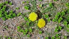 "Dandelion and Sea Sandwort on shingle beach (nz_willowherb) Tags: scotland ""east lothian"" taraxacumofficinale dandelion borders ""torness point"" ""skateraw harbour"" flora ""wild flowers"" ""early may"" honckenyapeploides sandwort seasandwort"