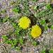 Dandelion and Sea Sandwort on shingle beach