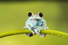 Ruby-eyed Tree Frog D75_7098.jpg (Mobile Lynn) Tags: amphibian frog nature rubyeyedtreefrog captive fauna wildlife bournemouth england unitedkingdom gb coth specanimal coth5 ngc npc sunrays5