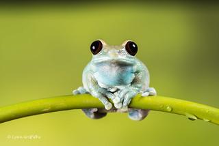 Ruby-eyed Tree Frog D75_7098.jpg