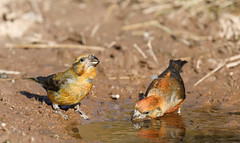 Crossbills (Steve Balcombe) Tags: bird crossbill commoncrossbill redcrossbill loxia curvirostra water puddle pool haddonhill exmoor nationalpark somerset uk