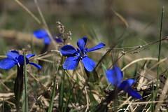 gentianes (bulbocode909) Tags: fleurs gentianes nature montagnes printemps valais suisse montchemin bleu vert