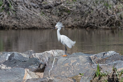 May 6, 2017 - A Snowy Egret on the South Platte River. (Tony's Takes)
