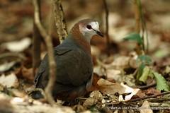 Lemon Dove -002 (markus lilje) Tags: markuslilje southafrica bird birds lemondove columbalarvata