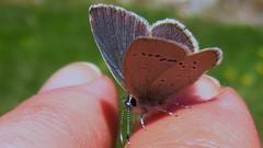 IMG_1452 (meuh1246albums) Tags: hautesalpes queyras sommetbucher colfromage papillon argusbleu