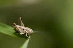 Bébé sauterelle  orthoptères (Doriane Boilly Photographie Nature) Tags: prairies champs printemps insectes macro bébé sauterelle lens