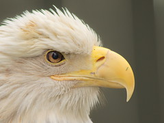 Bald Eagle 3 (dennisgg2002) Tags: bronx zoo new york city nyc ny
