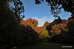 Morning in Kilmacurragh. (mcgrath.dominic) Tags: rhododendrons botanicgardens kilmacurragh cowicklow