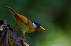 Bird in Vietnam - Silver-eared Mesia (Jamie Lenh Photography) Tags: nature wildlife birds vietnam silverearedmesia nikon d7100 tamron 150600