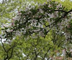 Springtime Renewed (Harry Lipson) Tags: springtimerenewed spring springtime flowering blooming blooms blossom blossoming branches harrylipson harrylipsoniii thephotographyofharrylipson