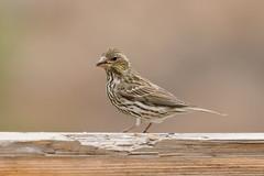 Cassin's Finch (1100) (Bob Walker (NM)) Tags: bird finch cassinsfinch haemorhouscassinii cafi losalamos newmexico usa