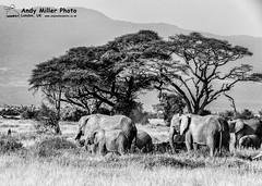 20160217-08-28-40_C018670 BW 2000px (ajm057) Tags: 8takenusing africa africanelephantloxodontaafricana africanbushelephantloxodontaafricana amboselinationalpark andymillerphotolondonuk blackwhitephotography elephantidaeelephants kenya loxodonta mammal nikond810 proboscideaelephants reservesparks wildlifephotography kajiado ke african elephant