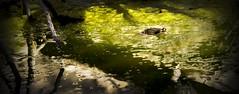 Toxic frog (Sacule) Tags: puig galatzó mallorca canon 600d sigma1770 frog rana panoramic vignette dark toxic spain españa europa baleares balearic islands water reflection