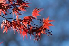 Printemps flamboyant... (Gisou68Fr) Tags: érable acer rouge red ciel bleu blue sky maple zoo mulhouse alsace france 68 hautrhin