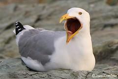 Screamin' Seagull (TravelsJ19) Tags: joycecortilesso newportrhodeisland feathers nature wildlife beak insideaseagullsmouth mouth openwide bird seagull seagulls