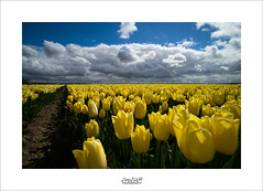dutch skies (Zino2009 (bob van den berg)) Tags: flower tulips yellow sea wave clouds contrast color dutch symbol flowers many lines row endless flat land toerists blue sky typical reflecting light sunny conditions perfect tokina 17mm wide angle close sharp bright zino2009