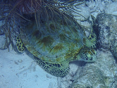Green Sea Turtle (Norman Graf) Tags: animal bonaire centralamerica cheloniamydas greenseaturtle reptile sampler scubadiving turtle watersports