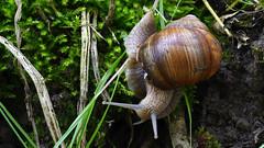 Weinbergschnecke  -  Roman snail (karinrogmann) Tags: macromondays may15 intothewoods weinbergschnecke romansnail lumacaromana unterholz underbrush sottobosco caracol