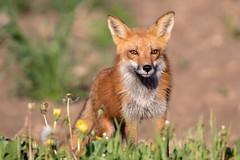 Red Fox (Scott Weberpal) Tags: redfox vulpesvulpes wildlife canon 7dmarkii 100400 mammal animal country rural wisconsin
