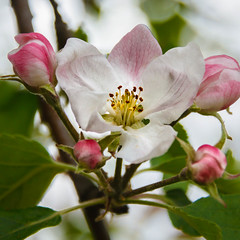 Apple Blossom (http://fineartamerica.com/profiles/robert-bales.ht) Tags: emmett floweringtrees forupload haybales idaho people photo places plants projects states plant white petal nature flower leaf twig spring blooming bloom branch blossom bud macro stamen background green apple fresh tree closeup foliage outdoor springtime floral fruit delicate beauty isolated stem flora natural beautiful cherry botany ecology decorative pink decoration colorful appletree botanic frame orchard fruittree pistil agriculture blossoming robertbales greetingcards iphone angiosperm