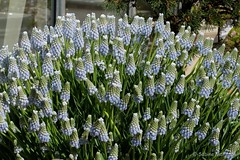 One  Thousand and one flowers  for you (Sockenhummel) Tags: fuji x30 fujifilm finepix blumen traubenhyazinthen frühling spring bundesplatz flowerbeds