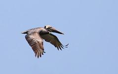 Brown Pelican (ashockenberry) Tags: pelican bird flight nature wildlife tybee island georgia coastal