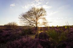 Sundown @ Posbank NL part2 (RigieNL) Tags: posbank veluwe nederland netherlands nature natuur landschap landscape holland tree sony sonya6000 sundown sun sunset sunray sunrays