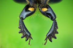 Beetle Legs (Can Tunçer) Tags: can cantunçer cantuncer canon canon6d tunçer turkey turkiye türkiye closer macro makro macros macrophotography micro mikro makros microscop microscope mitutoyo mitu5x stack stacking studio setup izmir jansjö
