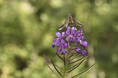 """Fireweed • <a style=""""font-size:0.8em;"""" href=""""http://www.flickr.com/photos/63501323@N07/34350009082/"""" target=""""_blank"""">View on Flickr</a>"""