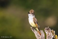 Ash-throated Flycatcher (Bob Gunderson) Tags: ashthroatedflycatcher birds california flycatchers myiarchusflycatchers myiarchuscinerascens northerncalifornia ranchosanantonio santaclaracounty southbay